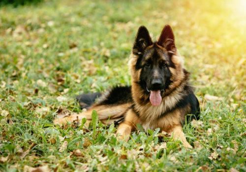 Malattie della prostata: anche il cane può soffrirne