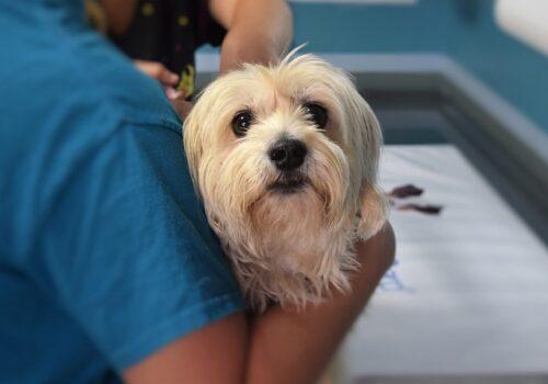 Bordetella bronchiseptica: il batterio della tosse del cane